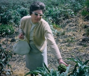 1968 Mom picking artichokes.jpg